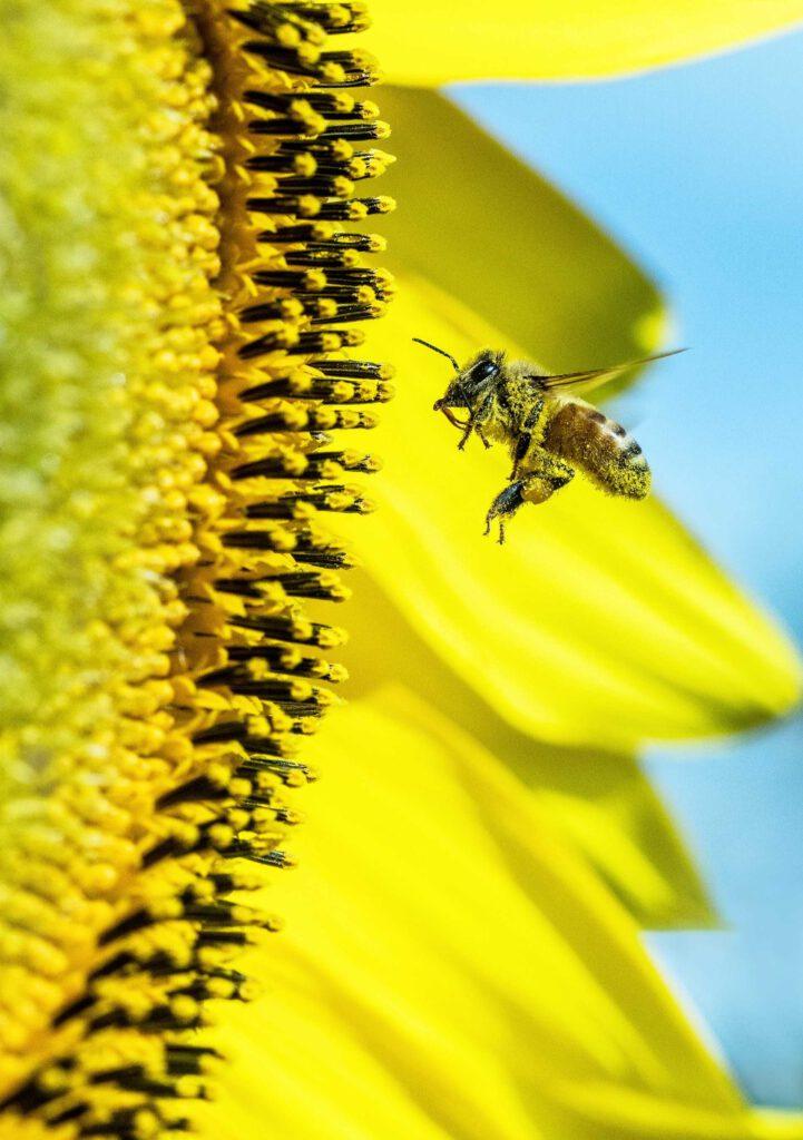 biene honig